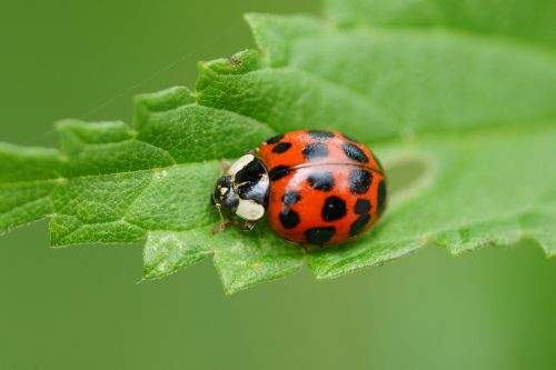 ladybug red macro