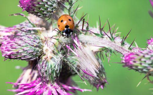 ladybug coccinellidae beetle