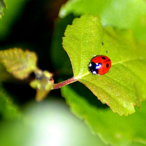 ladybug red ladybug leaf