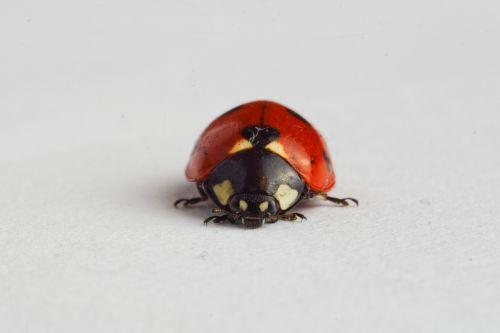 ladybug ladybird insect