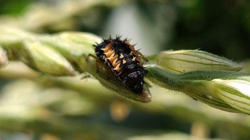 ladybug larva grass