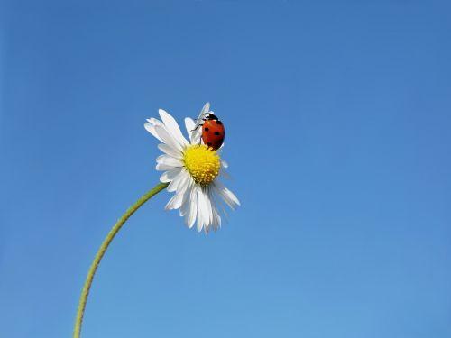 ladybug seven-spot ladybird lucky ladybug