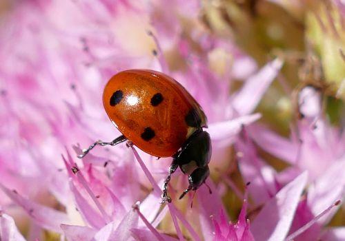 ladybug points lucky charm