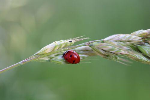 ladybug luck insect