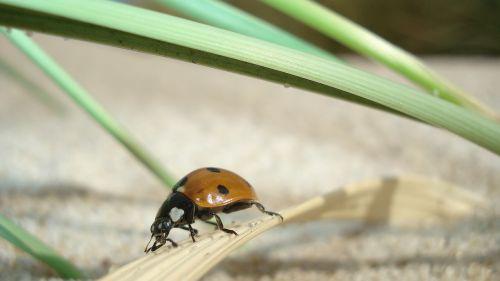 ladybug insect close