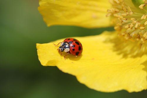 ladybug flower blossom
