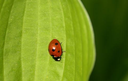 ladybug siebenpunkt beetle
