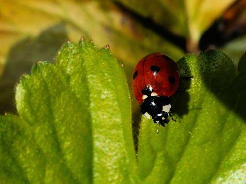 ladybug leaf beetle