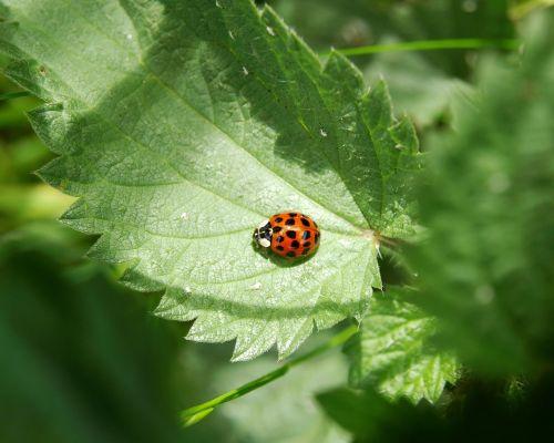 ladybug red lucky charm