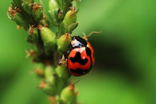 ladybug  insects  beetle