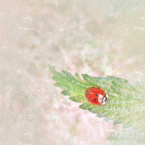 ladybug  brennessel  small