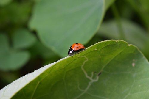 ladybug  beetle  insect