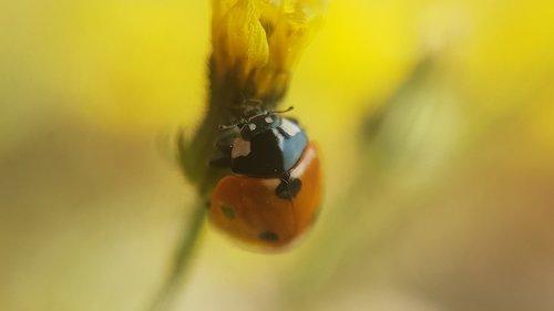 ladybug  beetle  nature