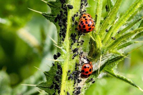 ladybug  asian ladybug  a lot of colored