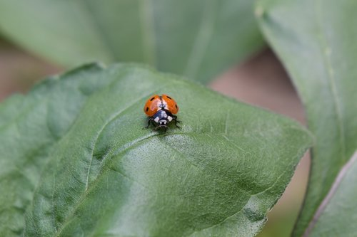 ladybug  beetle  ladybug leaf
