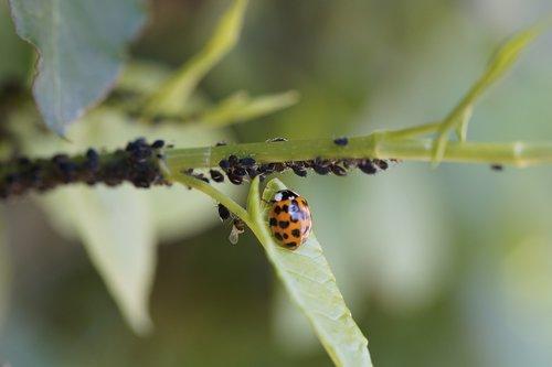 ladybug  asian ladybug  insect