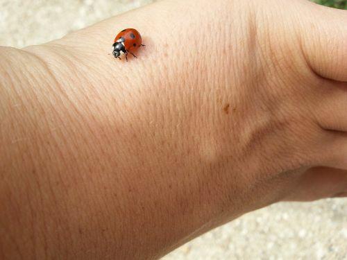 ladybug lucky charm luck