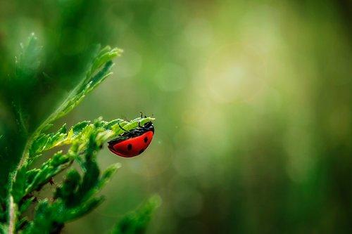 ladybug  insect  beetle