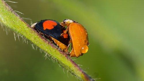 ladybug  god beetle  beetle