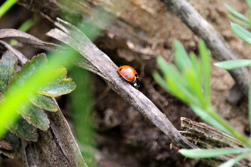 ladybug  hiding place  insect