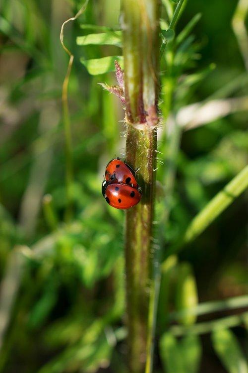 ladybug  spring  close up