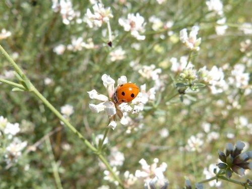 ladybug  flowers  tiny
