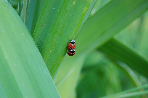 ladybug  ladybugs  insect