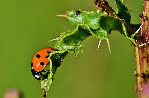 ladybug  leaf  aphid