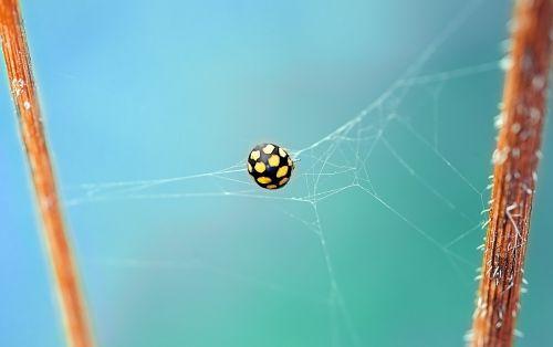 ladybug beetle yellow