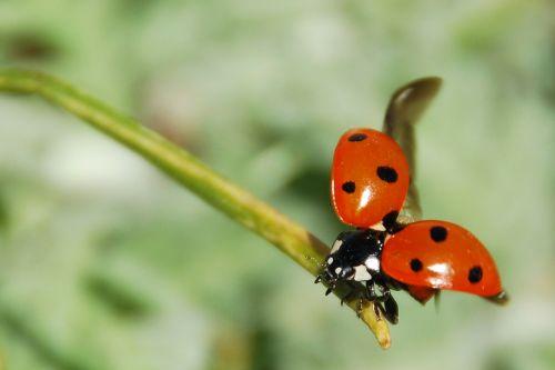 ladybug insect nemrut