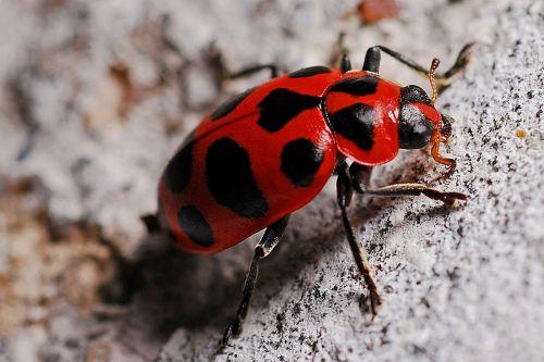 ladybug macro insect