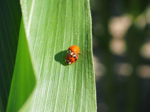 ladybug pairing beetle