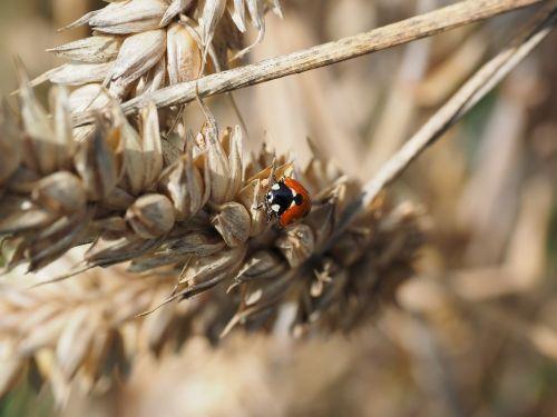 ladybug beetle siebenpunkt