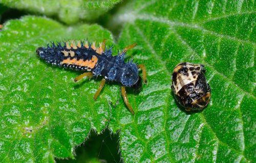 ladybug larva harmonia