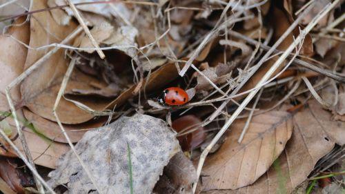 ladybug leaves autumn