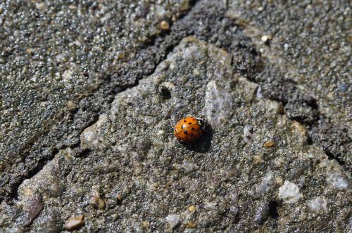 ladybug beetle lucky charm