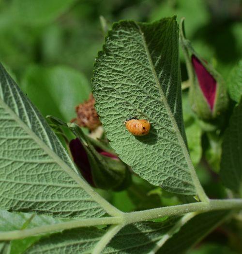 ladybug pupa leaf underside close-up