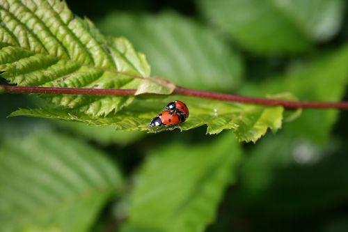ladybugs green sheet