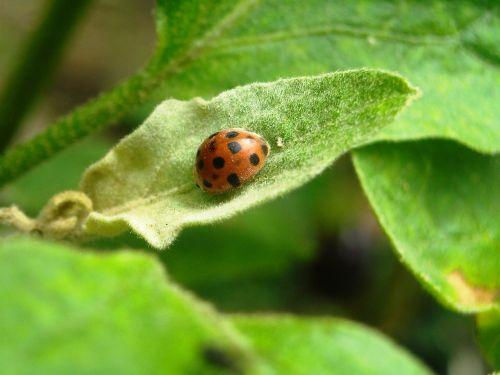 ladybugs insects orange