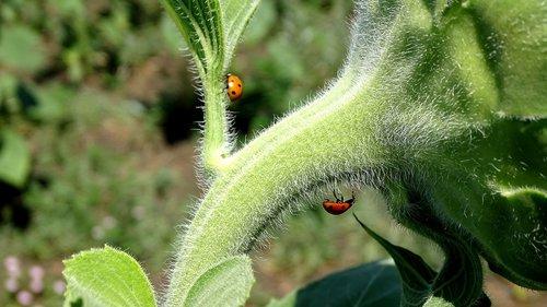 ladybugs  sunflowers  beetles