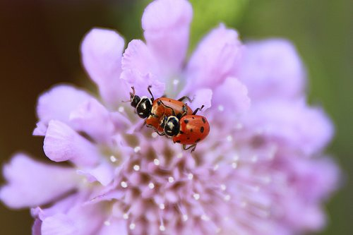 ladybugs mating  purple flower  nature