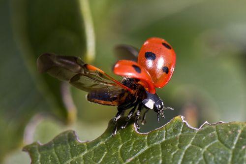 Ladybugs Spreading Wings
