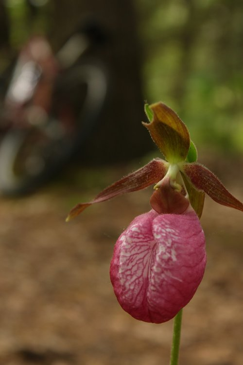 lady's slipper  orchid  hiking