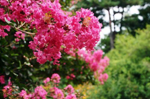 lagerstroemia indica crape myrtle trees thursday crape myrtle