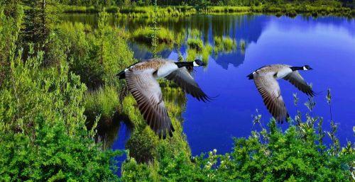 lake reflection ducks