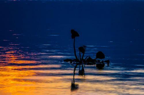 lake floating plant sunset
