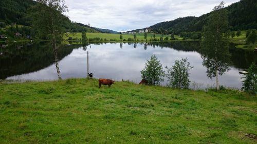 lake cows landscapes