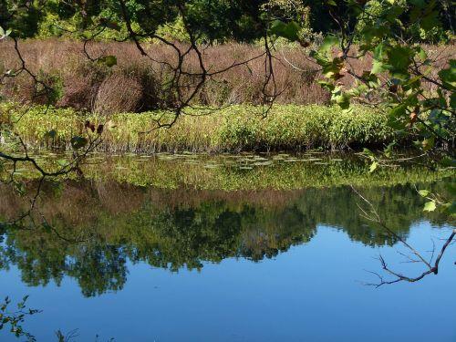 lake loosestrife weeds