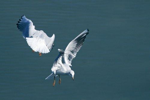 lake  seagull  flying