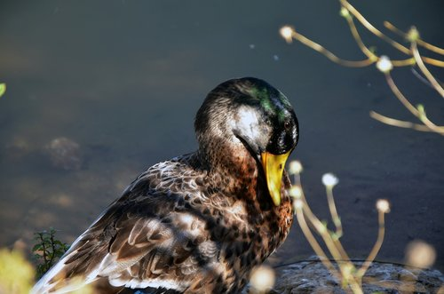 lake  nature  duck